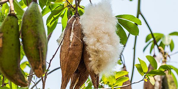 The Precious Fruit of the Kapok Tree